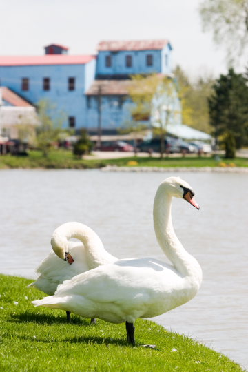 A swan in the village of Wellesley